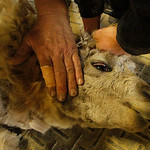 An alpaca gets sheared. Photo by Tom Mahl