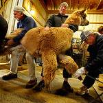 Eighteen alpacas got their yearly trimming Sunday at Top Knot Alpaca Farm in Grafton Township. Here, an alpaca's legs are secured before shearing. Photo by Tom Mahl