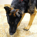 Rufus, a German Shepherd rescue dog, with a burned left ear, on right, at Avon Lake Animal Clinic on Sep. 27.    Steve Manheim