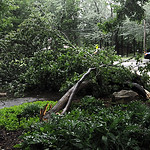 A tree was knocked down at Miller Road Park in Avon Lake from the storm on July 10.  Steve Manheim