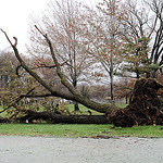 Uprooted tree at Lakeview Park on Oct. 30.  Steve Manheim