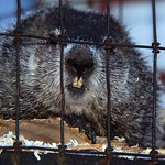 **RETRANSMIT TO CORRECT TRANS REFERENCE NUMBER TO OHMAS104** Buckeye Chuck sits in his cage at WMNR Radio in Marion, Ohio after he made his annual prediciton on Groundhog Day. About 150 peop …