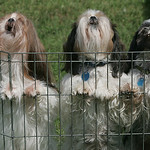 These three Shih Tzus were eager to greet anyone who walked past their cage.  They are owned by Tom Tomczak of Grand Rapids, Michigan.  photo by Chuck Humel
