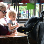 Allison Meckee, of North Olmsted holds Dani Whitney, 2, of Carlisle Township, who laughs as she greets some of the cows in the cow barn. KRISTIN BAUER | CHRONICLE