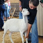 Joseph Schramm Jr., of Wellington and Lorain County Dairy Club, prepares his grand champion Dairy Market Goat/Dairy Breed at the Junior Fair auction.  STEVE MANHEIM/CHRONICLE