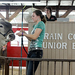Michaela Price, of Wellington, walks her Reserve Champion dairy steer around the ring during the 2014 Lorain County Junior Fair Livestock Sale. ANNA NORRIS/CHRONICLE