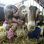 Mallorie Jones, 5 of Wakeman  hugs her goat Laverne just seconds before the goat slipped out of the open door and made a break for it. BRUCE BISHOP/CHRONICLE