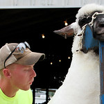 Alex Tuggle, 19, of South Amherst, blows off the extra wool as he shears one of his family's sheep outside the sheep barn at the Lorain County Fairgrounds Sunday afternoon in Wellington. The …