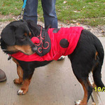 Chevy, adopted from Friendship APL, transformed into a lady bug for Halloween.