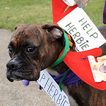 "Lucy, a boxer rescue dog, owned by Charles Verespe of Vermilion, was at the ""Justice for Herbie"" walk at Steator Park in Lorain on Dec. 9.  Steve Manheim"