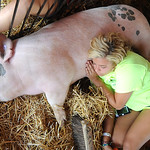 Emily Nagy, of LaGrange, and the Keystone Crazy Kids, takes a nap with  Grizzly, her market hog, at the Lorain County Fair on Aug. 23.   Steve Manheim