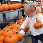 Isabella St. Aubyn, 2, of North Ridgeville, picks out a halloween pumpkin at Fitch's Farm Market on Rt. 83 in Avon on Oct. 13.  There are wagon rides at Fitch's to pick your own pumpkins on  …