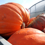 Pumpkins at Fitch&#039;s Farm Market in Avon on Oct. 13.  Steve Manheim