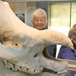 In this Tuesday, Oct. 5, 2010 photo, volunteers Betty Wuest, left, of Westwood, Ohio, and Janet Morgan of Dent, Ohio, pose with an Indian rhinoceros skull as they watch Nikki the pregnant In …