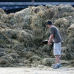Jeffrey Conrad, 14, of Grafton adds just a little bit more to a gigantic manure pile at the Lorain County Fair. Conrad is showing Jill, a Holstein at the Fair. photo by Chuck Humel