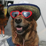 """Summer,"" a Golden Retriever therapy dog owned by John Yarsa, now of Barberton and of the Yarsa Hardware store family in Lorain County owns the pooch, who has a habit of approaching people w …"