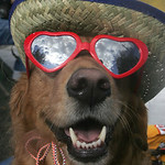 &quot;Summer,&quot; a golden retriever therapy dog owned by John Yarsa, now of Barberton and of the Yarsa Hardware store family in Lorain County owns the pooch, who has a habit of approaching people w &#8230;