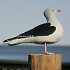 23rd Black Backed Gull Watch : 