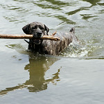Violet, an 11-year-old Cane Corso/Rottweiler mix, retrieves a large stick from the pond at South Central Park during the Paws in the Park event in North Ridgeville.  A variety of local pet r …