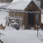 Laurel Veinfortner Decker's hens explore the snow in Carlise Township.