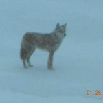 Lois Thompson-Arizmendi saw a coyote walking on the frozen lake in Sheffield Lake.
