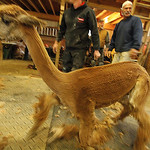 Eighteen alpacas got their yearly trimming Sunday at Top Knot Alpaca Farm in Grafton Township. An alpaca is seen after shearing. Photo by Tom Mahl