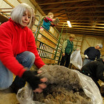 Eighteen alpacas got their yearly trimming Sunday at Top Knot Alpaca Farm in Grafton Township. Nancy Kuhar of Wakeman bags wool from an alpaca. Photo by Tom Mahl