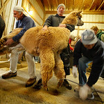 04/22/2012  Before shearing. Being Secured front and back.  Photo by Tom Mahl