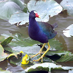 A Purple Gallinule well outside of his normal range that runs from Florida to Costa Rica looks for food in a pond in the Lorain County Metroparks Columbia Reservation.