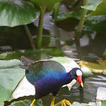 A Purple Gallinule well outside of his normal range that runs from Florida to Costa Rica looks for food in a pond in the Lorain County Metroparks Columbia Reservation is bringing birders out …
