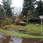 Uprooted tree which took down utilitiy lines ast Baldwin Blvd. and Cooper Foster Park Rd. in Lorain on Oct. 30.  Steve Manheim