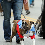 "This ""super pooch"" walks with his owner during the parade. ANNA NORRIS/CHRONICLE"