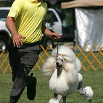 Nick Grubb of Madison, Ohio, handles Cali, a female Standard Poodle in an event on Sunday. She is owned/bred by Wendy Penn of Columbus. The Lorain County Kennel Club hosted an American Kenne …