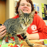 Melissa Snyder, a volunteer with Friendship APL, with Little English, a tiger tabby for adoption, at the Hobby and Activity Day at Amherst Public Library on Apr. 9. Steve Manheim