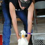 Andy Schworer of Henrietta Twp. races his duck Howard in the fowl race at Lorain County Fair on Aug. 22.  Steve Manheim