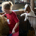 Emily Emerich, 10, of Oberlin, and a 4-H member, feeds her goats Bobby and George, but is surprised by a neighboring goat interested in the fresh hay. KRISTIN BAUER | CHRONICLE