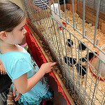 Eva Thompson, 6, of Eaton Twp.,  looks at the chicks in the new poultry barn on Monday. STEVE MANHEIM/CHRONICLE
