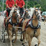 Wright's Haflingers of Wellington compete in the World Draft Horse and Pony Hitch competition.  STEVE MANHEIM/CHRONICLE