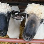 Sheep wait for feeding on Aug. 21. STEVE MANHEIM/CHRONICLE