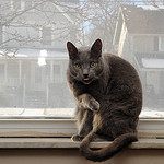 Sam the garage cat strikes a pose on the windowsill of Lori Garcia's office at Lorain City Garage on Jan. 24.  Steve Manheim