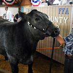 Matthew Kelling, of Wellington, with his Grand Champion Dairy Beef Cross Steer, at the Jr. Fair Livestock Auction-Market Beef, at Lorain County Fair Aug. 28.  Steve Manheim