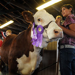 Eryn Greeless of Sheffield Village, with her Grand Champion Lottery Steer- Hereford Type, at the Jr. Fair Livestock Auction, Market Beef, at Lorain County Fair Aug. 28.  Steve Manheim