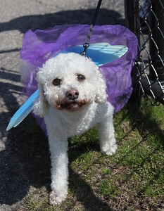 Emma, a 13-yr-old Bichon owned by Jen West of Vermilion, looks ready to fly. at the Love-a-Stray Dog Walk. photo by Ray Riedel