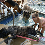 Cayla Riggs, 13, of Oberlin, helps Barkleigh, the old English mastiff, take a short cut out of the pool during the Soggy Doggy Pool Party on Aug. 26. KRISTIN BAUER | CHRONICLE