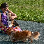 Audrey Schmitt, 13, of North Ridgeville plays with her dachshund Cooper and a visiting Corgi puppy, Holly, during the Soggy Doggy Pool Party on Aug. 26 at Splash Zone in Oberlin.  KRISTIN BA …