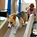 Katie, the corgi, takes a trip down the slide as Linda Wells, of Sullivan, looks on during the Soggy Doggy Pool Party on Aug. 26 at Splash Zone in Oberlin. KRISTIN BAUER | CHRONICLE