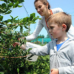 Jack Butzin, 4, picks blueberries with his mother Erin, at Baumhart Road Berries at 2200 Baumhart Road in Vermilon on July 29. The farm is open Tuesday, Thursday and Fridays from 8 am to 5 p …