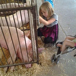 Skylar, 6, pets the pigs at the fair.