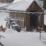 Laurel Veinfortner Decker's hens explore the snow in Carlise Township.