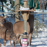 Rose Gibson took this photo of deer eating the bird seed from her bird feeder in her backyard on Windsor Drive in Elyria on Dec. 16.